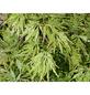 GARTENKRONE Grüner Schlitzahorn, Acer palmatum »Dissectum Viridis«, winterhart-Thumbnail