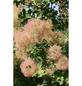 Grünlaubiger Perückenstrauch, Cotinus coggygria »Young Lady«, Blütenfarbe rosa-Thumbnail