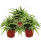 Grünlilie 3er Set Chlorophytum-Thumbnail
