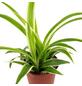 Grünlilie Chlorophytum-Thumbnail