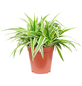 Grünlilie, Chlorophytum comosum-Thumbnail