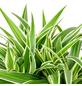 Grünlilie Chlorophytum comosum-Thumbnail