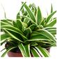 GARTENKRONE Grünlilie Chlorophytum comosum-Thumbnail