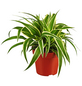 GARTENKRONE Grünlilie, Chlorophytum comosum, im Kunststoff-Kulturtopf-Thumbnail
