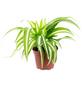 Grünlilie Chlorophytum comosum »Variegata«-Thumbnail