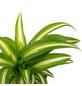 Grünlilie, Chlorophytum comosum »Variegata«, im Kunststoff-Kulturtopf-Thumbnail