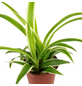 Grünlilie, Chlorophytum, im Topf-Thumbnail