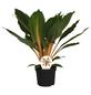 Gruenlilie, Chlorophytum orchidastrum »Green Orange«,-Thumbnail