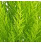 GARTENKRONE Grünpflanze-Thumbnail