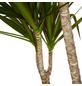GARTENKRONE Grünpflanze »Drachenbaum«,  aktuelle max. Pflanzenhöhe 155 cm , Topf-Ø 27 cm-Thumbnail