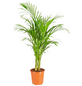 GARTENKRONE Grünpflanze »Goldfruchtpalme«,  aktuelle max. Pflanzenhöhe 120 cm , Topf-Ø 21 cm-Thumbnail