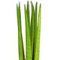 GARTENKRONE Grünpflanze Im Topf-Thumbnail