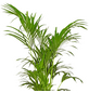 GARTENKRONE Grünpflanze »Kentiapalme«,  aktuelle max. Pflanzenhöhe 160 cm , Topf-Ø 27 cm-Thumbnail