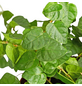 GARTENKRONE Grünpflanze »Kletterfeige«,  aktuelle max. Pflanzenhöhe 10 cm , Topf-Ø 10 cm-Thumbnail