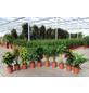 Grünpflanzen, Grünpflanzen Mix »in Sorten«,-Thumbnail