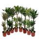 Gruenpflanzen, Gruenpflanzen Mix »in Sorten«,-Thumbnail