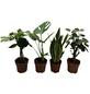 Grünpflanzen Tropic, Grünpflanzen Mix »in Sorten«,-Thumbnail