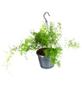GARTENKRONE Grünpflanzenampel-Mix-Thumbnail