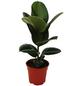 Gummibaum 2er Set Ficus elastica-Thumbnail