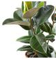 Gummibaum Elastica Ficus »Robusta«-Thumbnail