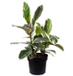 Gummibaum Elastica Ficus »Tineke«-Thumbnail