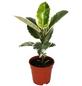Gummibaum, elastica Ficus, Topf-Ø: 17cm-Thumbnail