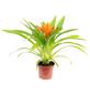 Guzmanie, Guzmania »Ritmo«, Blüte: orange-Thumbnail