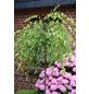 Hängebirke, Betula pendula »Youngii«, Blattfarbe grün-Thumbnail