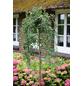 Hängender Erbsenstrauch, Caragana arborescens »Pendula«, Blütenfarbe gelb-Thumbnail