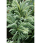 Hahnenkamm Sicheltanne japonica Cryptomeria »Cristata«-Thumbnail
