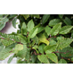 Hainbuche, Carpinus betulus, Lieferhöhe: 60 - 100 cm-Thumbnail
