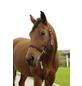 Covalliero Halfter »Hippo«, passend für Pony, Gr. 1, aubergine-Thumbnail