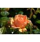 GARTENKRONE Harkness Multibloom Rosen »In Sorten«, Rosa, Blüte: bunt-Thumbnail