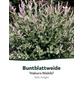 Harlekinweide, Salix integra »Hakuro Nishiki«, Blütenfarbe gelb-Thumbnail