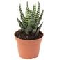 Hawothia Kaktus Haworthia Fasciata-Thumbnail