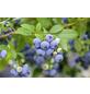 GARTENKRONE Heidelbeere, Vaccinium corymbosum »Bluecrop«, Früchte: blau, essbar-Thumbnail