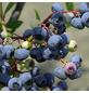 GARTENKRONE Heidelbeere Vaccinium corymbosum »Darrow«-Thumbnail