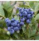 GARTENKRONE Heidelbeere, Vaccinium corymbosum »Duke«, Früchte: blau, essbar-Thumbnail