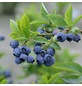 GARTENKRONE Heidelbeere Vaccinium corymbosum »Earlyblue«-Thumbnail