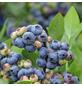 GARTENKRONE Heidelbeere Vaccinium corymbosum »Goldtraube«-Thumbnail