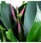 Helikonie, Heliconia psittacorum, Blütenfarbe: gelborange-Thumbnail