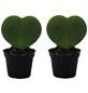 Herzpflanze 2er Set Hoya kerrii-Thumbnail