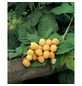 GARTENKRONE Himbeere, Rubus idaeus »Golden Everest« Blüten: weiß, Früchte: gelb, essbar-Thumbnail