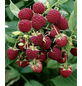 Himbeere Rubus idaeus »Sanibelle«-Thumbnail