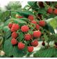 GARTENKRONE Himbeere, Rubus idaeus »Schoenemann«, Früchte: rot, essbar-Thumbnail