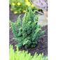 Hinoki-Scheinzypresse obtusa Chamaecyparis »Sheriman«-Thumbnail