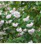 GARTENKRONE Hoher Sternchenstrauch, Deutzia scabra »Plena«, weiß, winterhart-Thumbnail
