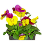 GARTENKRONE Hornveilchen Viola cornuta-Thumbnail