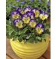Hornveilchen, Viola cornuta, Höhe bis 20 cm-Thumbnail