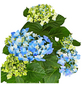 GARTENKRONE Hortensie »Hydrangea Macrophylla«, Blau-Thumbnail